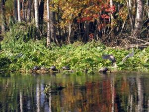 Lower St. Johns River TMDL Development Evaluation wildlife